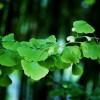 Ginkgo Biloba – Jinan dvoulaločný