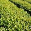 Ochutnejte práškový zelený čaj matcha