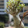 Ženšen (panax ginseng, panax quinquefolius) – účinky a použití