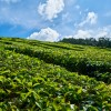 Výroba japonského čaju Matcha: Jedinečný zelený čaj najvyššej kvality