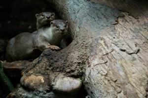 Vydry hladkosrsté v pražské zoo, foto Tomáš Adamec, Zoo Praha