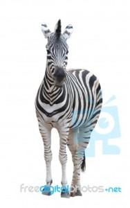 zebra+
